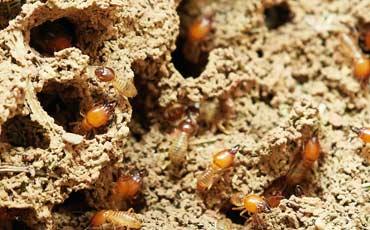 Diagnostic termites nantes, saint nazaire, pornic, challans, loire atlantique et Vendée avec Exodiags